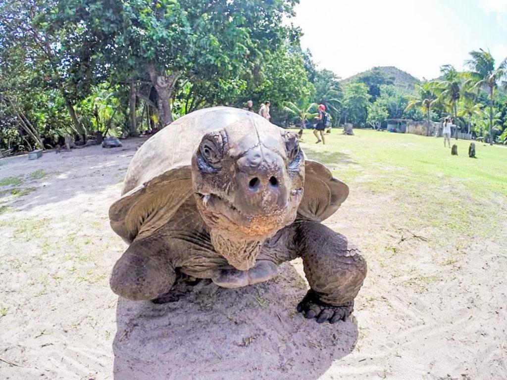 curieuse seychelles turtle